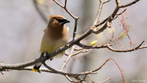 Cedar Waxwings Spring New England Essex County copyright Kim Smith - 10 of 12