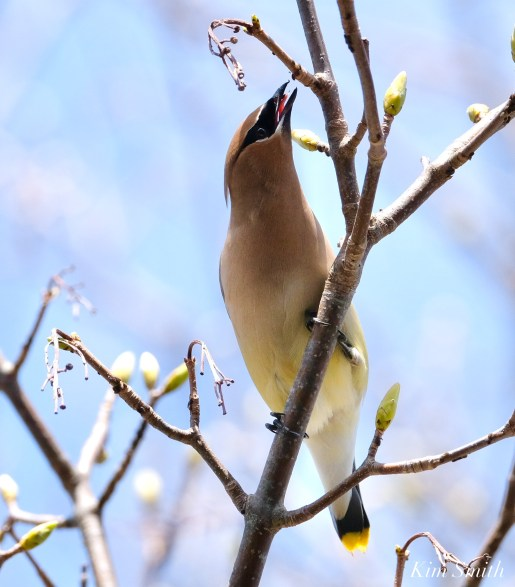 Cedar Waxwings Spring New England Essex County copyright Kim Smith - 9 of 12