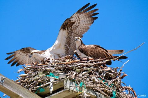 Osprey Courtiship Mating Massachusetts copyright Kim Smith - 14 of 24