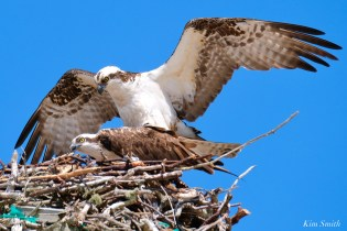 Osprey Courtiship Mating Massachusetts copyright Kim Smith - 9 of 24