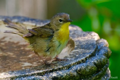 Common Yellowthroat Warbler Female copyright Kim Smith - 4 of 4