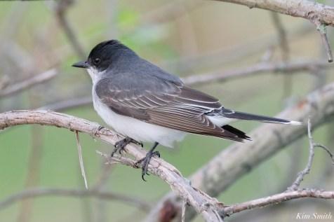 Eastern Kingbird copyright Kim Smith - 1 of 1