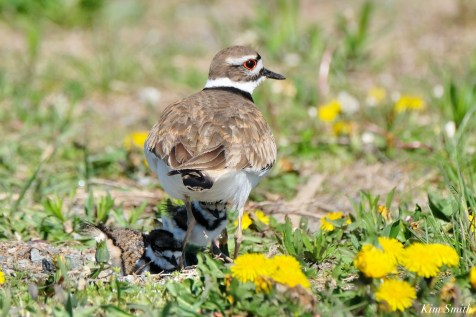 Killdeer Family chicks 5 days old Essex County Massachusetts copyright Kim Smith - 15 of 35