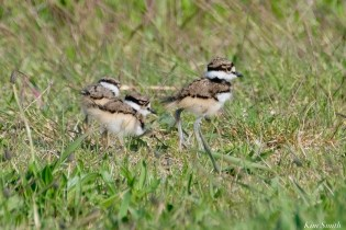 Killdeer Family chicks 6 days old Essex County Massachusetts copyright Kim Smith - 28 of 35