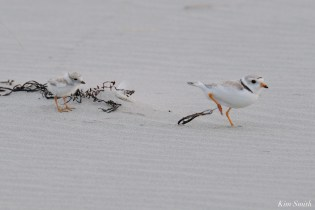 Piping Plover Injured Good Harbor Beach copyright Kim Smith - 4 of 9