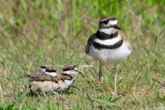 Killdeer Plover Eggs and Chicks Essex County copyright Kim Smith - 11 of 19