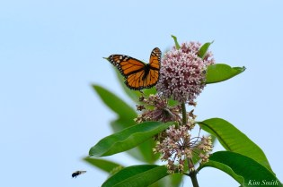 Monarch Butterflies and Bees Common Milkweed Asclepias syriiaca copyright Kim Smith - 1 of 7