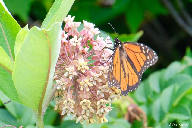 Monarch Butterflies and Bees Common Milkweed Asclepias syriiaca copyright Kim Smith - 7 of 7