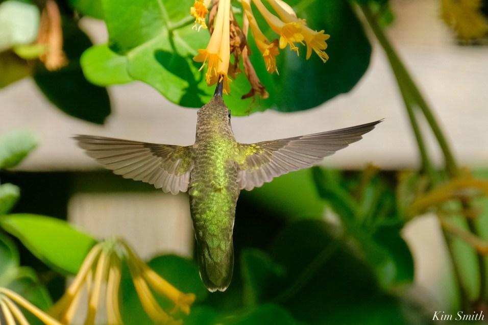 Ruby-throated Hummingbird Gloucester Garden Essex County copyright Kim Smith - 4 of 7
