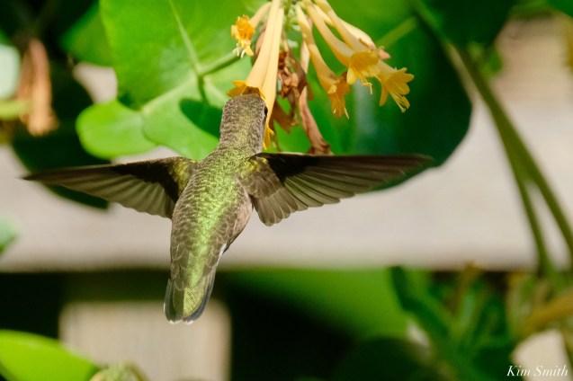 Ruby-throated Hummingbird Gloucester Garden Essex County copyright Kim Smith - 6 of 7