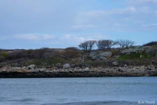 #savesaltisland Salt Island Gloucester MA copyright Kim Smith - 5 of 14
