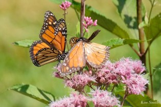 Monarch Butterflies Males Battling Cape Ann Essex County copyright Kim Smith - 3 of 7
