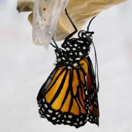 Monarchs emerging and Charlotte copyyright Kim Smith - 13 of 13