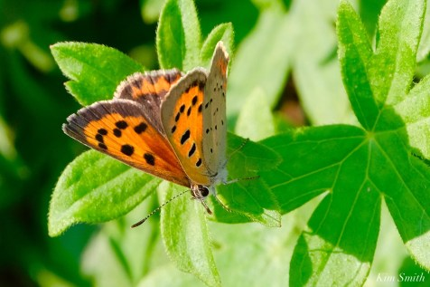 American Copper Butterfly copyright Kim Smith - 1 of 2