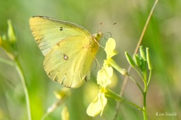 Clouded Sulphur Essex County coyright Kim Smith - 10 of 11