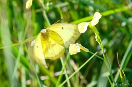 Clouded Sulphur Essex County coyright Kim Smith - 11 of 11