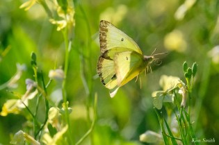 Clouded Sulphur Essex County coyright Kim Smith - 6 of 11
