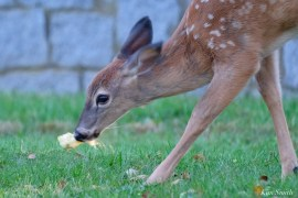 Deer eating apples copyright Kim Smith - 3 of 10