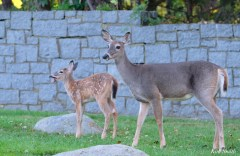 Deer eating apples copyright Kim Smith - 7 of 10