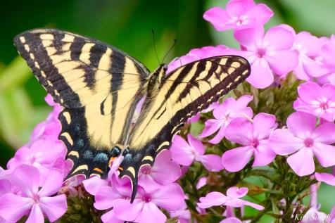 Eastern Canadian Tiger Swallowtasil copyright Kim Smith