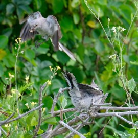 Mockingbird Juvenile Fledgling copyright Kim Smith - 2b of 4