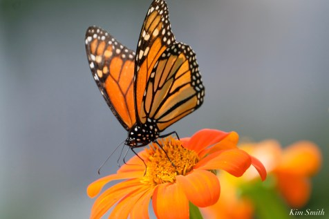 Monarch Butterfly Mexican Sunflower copyright Kim Smith