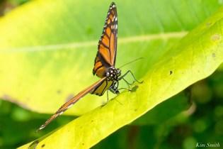 Monarch Depsoiting Egg Common Milkweed Essex County copyright Kim Smith - 10 of 16