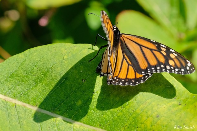 Monarch Depsoiting Egg Common Milkweed Essex County copyright Kim Smith - 14 of 16