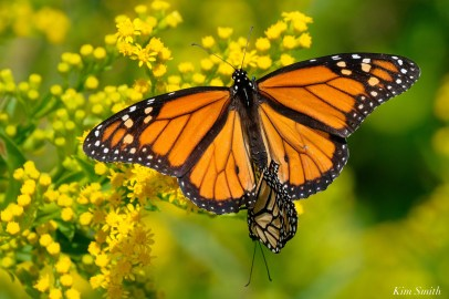 Monarch Mating Essex County copyright Kim Smith - 4 of 16