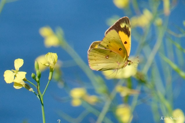Orange Sulphur Butterfly Male Essex County copyright Kim Smith - 3 of 7