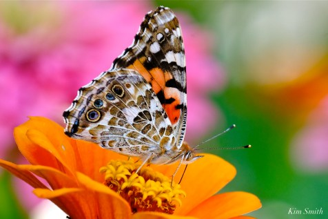 Painted Lady ventral -3 copyright Kim Smith