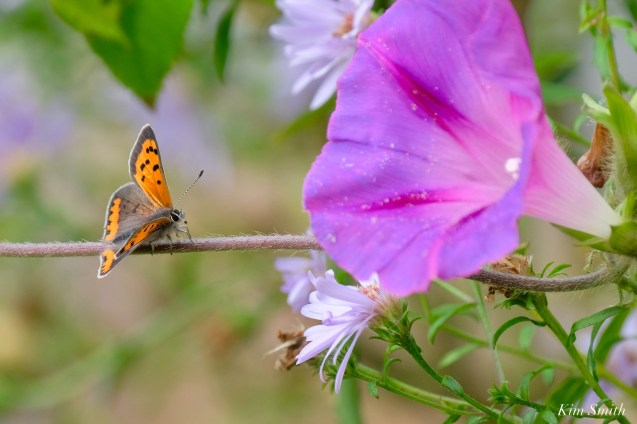 American Copper Butterfly Essex County copyright Kim Smith - 10 of 26