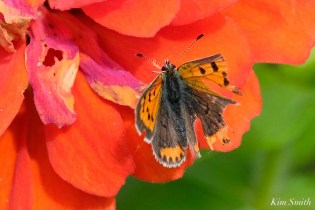 American Copper Butterfly Essex County copyright Kim Smith - 13 of 26