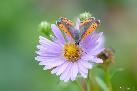 American Copper Butterfly Essex County copyright Kim Smith - 7 of 26
