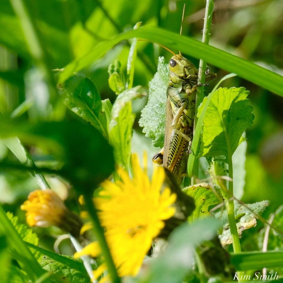 Differential Grasshopper Essex County copyright Kim Smith - 5 of 5