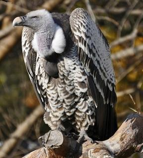 Vulture Jan 2014