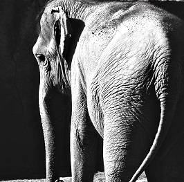 Don't try to eat the white elephant whole – thoughts on managing change and leadership