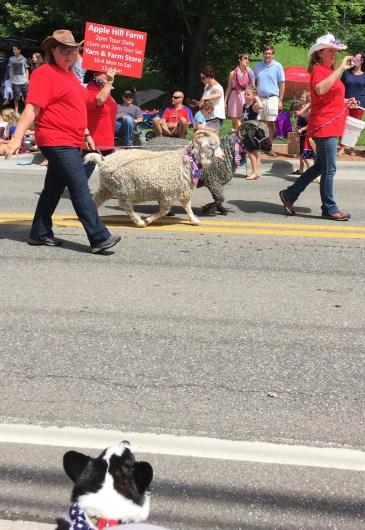 Higgins Eyeing the Sheep