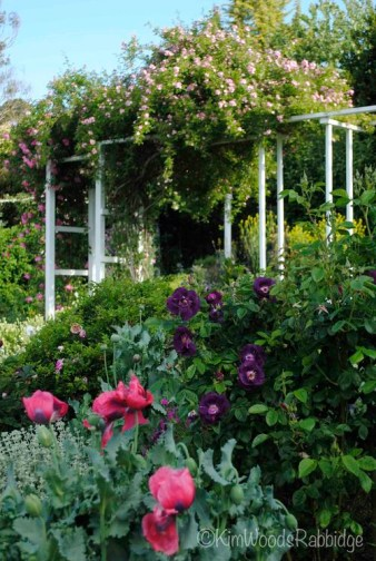 Behind the opium poppies is the mysterious, moody rose 'Rhapsody in Blue'.
