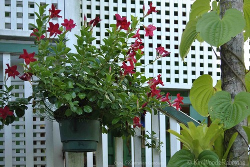 Hanging pots, such as this mandevilla (dipladena) adorning a wall, are watered automatically.