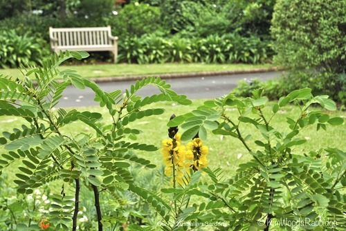 The bright spires of Senna didymobotrya emerge from long sprays formed by pairs of elongated oval leaflets. It's sometimes called the popcorn bush due to the scent of burnt corn.