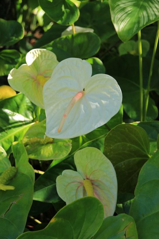 Cream flowering anthuriums