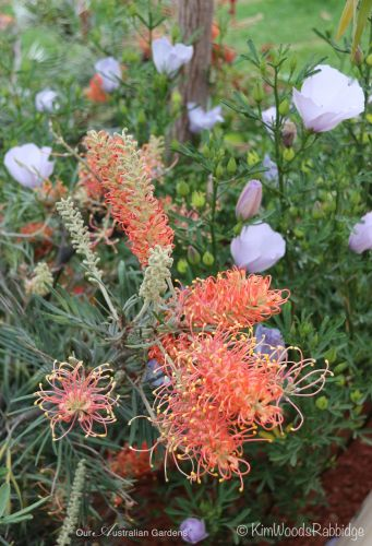 Warm-hued grevillea and ephemeral alyogyne blooms.