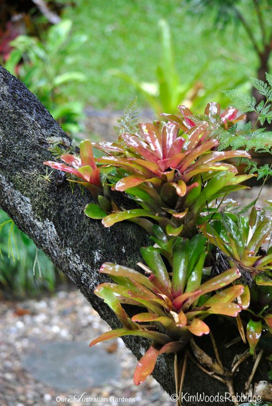 Terrestrial bromeliads at home in the trees.