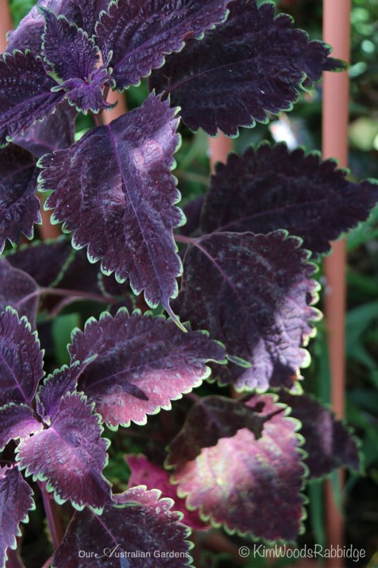 Various shades of purple and red coleus make striking highlights.