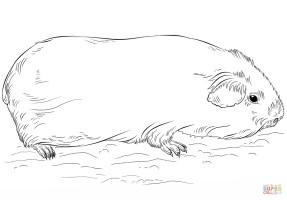 Meerschweinchen Bilder Zum Ausmalen   kinderbilder ...