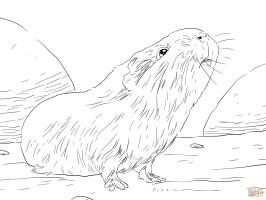 Meerschweinchen Bilder Zum Ausdrucken   kinderbilder ...