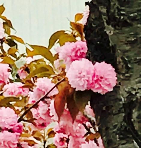 Big Cedar closeup tulip tree