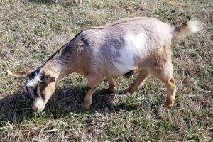 Melody Kinder Goat