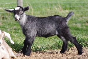 Rayne Kinder Goat